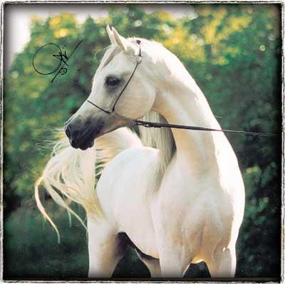 اجمل الخيول ryad_el_jamaal_1.jpg