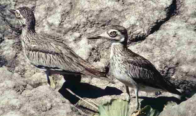 صور طائر الكروان   Karawan02