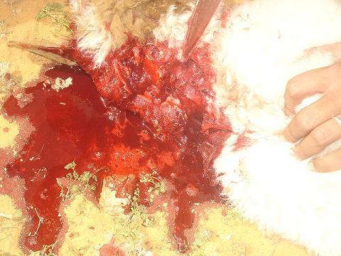 تذبح وتصلخ الخروف بالصور mk20888_k04.jpg