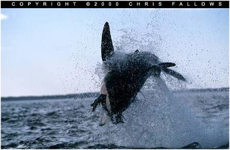 القرش الاستعراضي