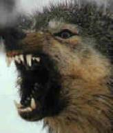 موسوعة أنواع الذئاب wolf%20anger%201.jpg