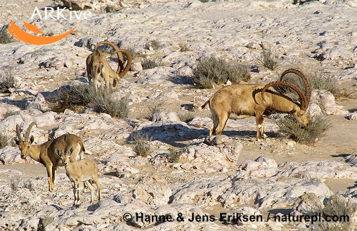 ����� ����� ������ ������� ������� mk18662_large-nubian-ibex-group-feeding.jpg