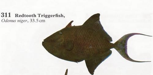انواع السمك البحر الاحمر mk16363_01213.jpg