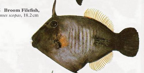 انواع السمك البحر الاحمر mk16363_01214.jpg