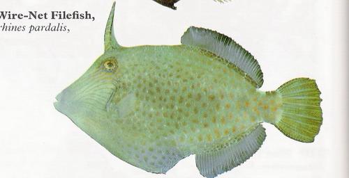 انواع السمك البحر الاحمر mk16363_01215.jpg