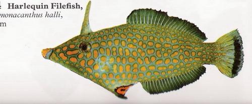انواع السمك البحر الاحمر mk16363_01216.jpg