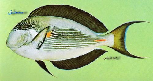 انواع السمك البحر الاحمر mk16363_01219.jpg