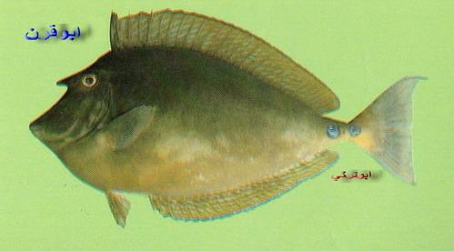 انواع السمك البحر الاحمر mk16363_01227.jpg