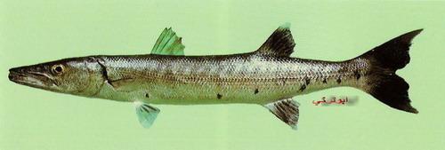 انواع السمك البحر الاحمر mk16363_1076.jpg