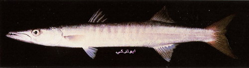انواع السمك البحر الاحمر mk16363_1077.jpg