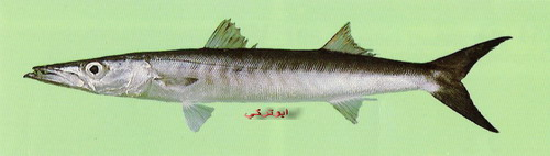 انواع السمك البحر الاحمر mk16363_1078.jpg