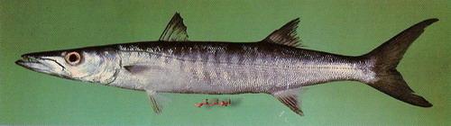 انواع السمك البحر الاحمر mk16363_1079.jpg