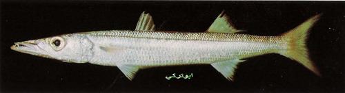 انواع السمك البحر الاحمر mk16363_1080.jpg
