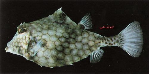 انواع السمك البحر الاحمر mk16363_1096.jpg