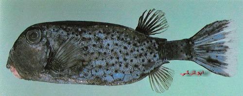 انواع السمك البحر الاحمر mk16363_1097.jpg