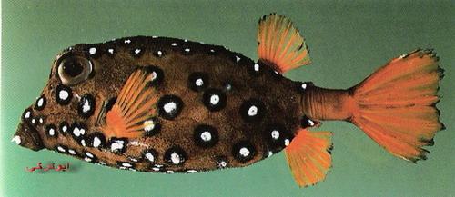 انواع السمك البحر الاحمر mk16363_1098.jpg