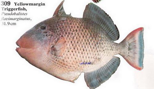 انواع السمك البحر الاحمر mk16363_1200.jpg