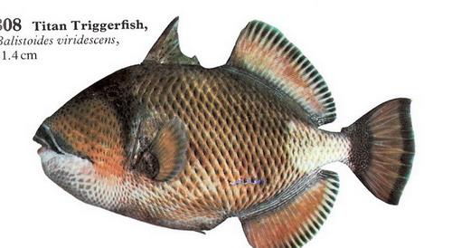 انواع السمك البحر الاحمر mk16363_1201.jpg