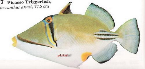 انواع السمك البحر الاحمر mk16363_1205.jpg