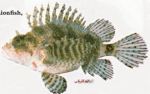 انواع السمك البحر الاحمر mk16363_1229.jpg