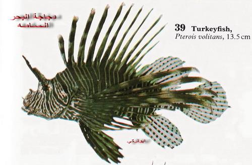 انواع السمك البحر الاحمر mk16363_1230.jpg