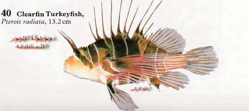 انواع السمك البحر الاحمر mk16363_1331.jpg