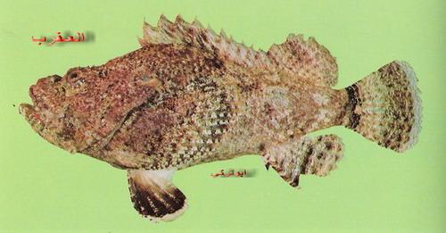انواع السمك البحر الاحمر mk16363_1333.jpg