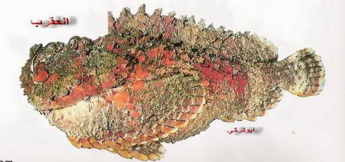 انواع السمك البحر الاحمر mk16363_1334.jpg
