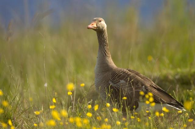 الرمادي,Greylag Geese