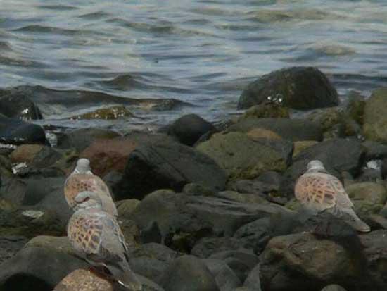 عالم البحار - (((( معلومات عن طائر القميري او Turtle Dove )))))
