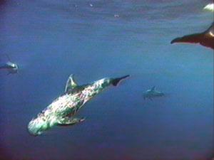 معلومات عن بعض انواع الدلافين Mk42658_334