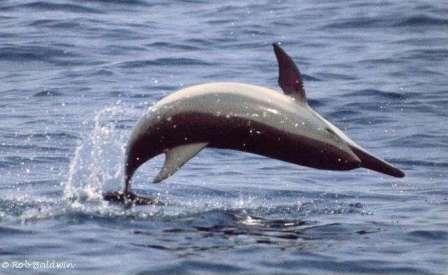 معلومات عن بعض انواع الدلافين Mk42658_spinner1