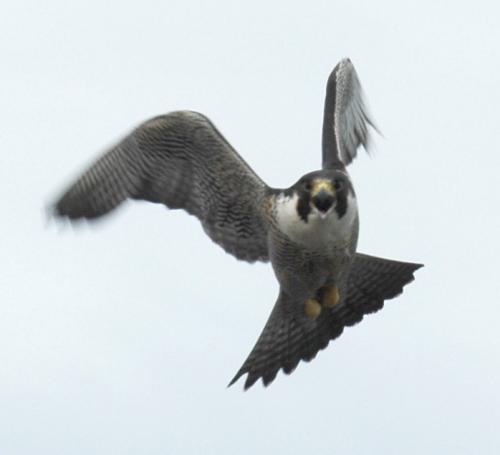 معلومات عن الطيور mk42658_10.jpg