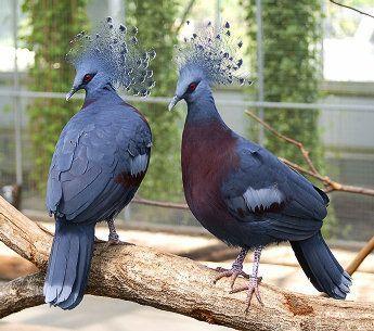 Goura scheepmakeri) - вид птиц из семейства голубиных...