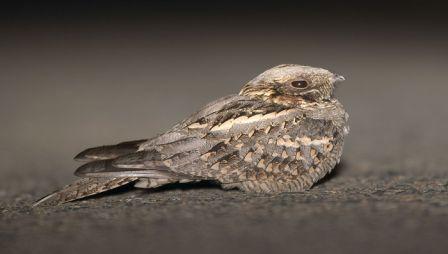 طيور عجيبة mk42658_nithtjar.jpg