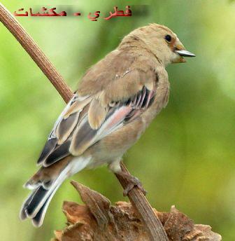 انوع طائر الحسون بالصور Mk42658_desertinch