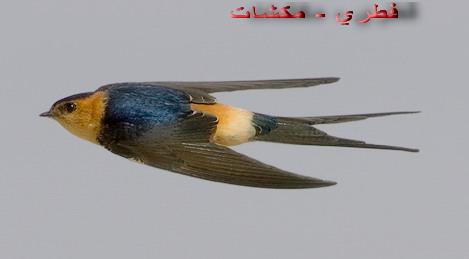 طائر السنونو - السنونو السلكي