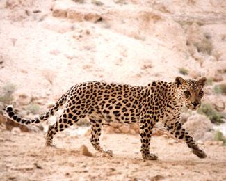 """"""" """" """" أوطاني"""" mk5064_leopard_01_lg"""