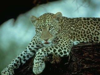 بحث علمى عن الحيوانات المنقرضة بالصور ، بحث بالصور عن الحيوانات المنقرضة 2017 mk5247_lepord.jpg