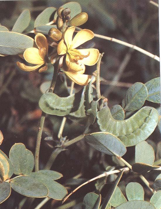 نبات العشرق