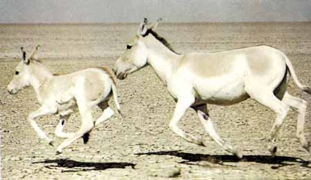 حديقة حيوانات المركز الدولى  Mk11730_equus%20emionus