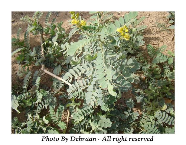 نبات العشرق ( السنا )+نبتة الداتورا السامة (بالصور) mk17809_alsana (2).jpg