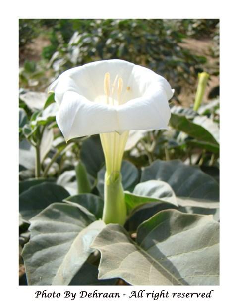 نبات العشرق ( السنا )+نبتة الداتورا السامة (بالصور) mk17809_dattoooooora5.jpg