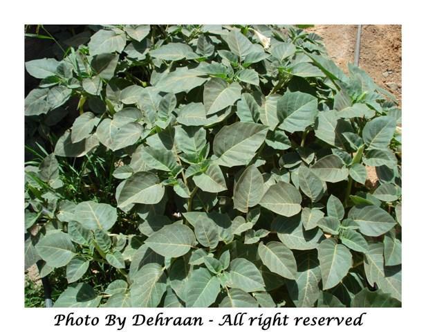 نبات العشرق ( السنا )+نبتة الداتورا السامة (بالصور) mk17809_dattoora2.jpg