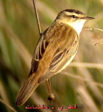 طيور عجيبة mk42658_108.jpg