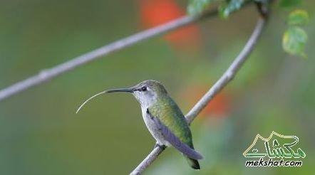 معلومات عجيبة عن الطيور..الجزء الثاني Mk42658_201