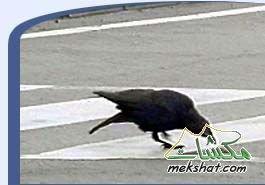 الطيور... mk42658_302.jpg