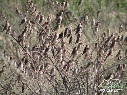 الطيور... mk42658_3071.jpg