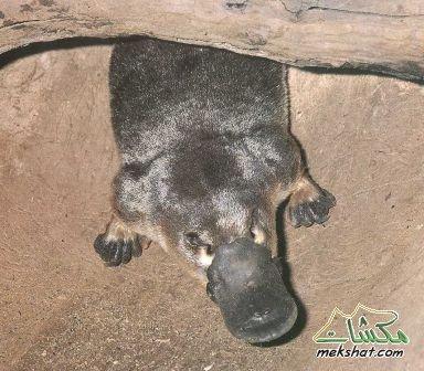 حيوانات تبيض.. وترضع صغارها... تعرف عليها .. mk42658_010.jpg