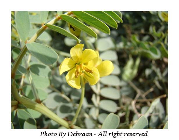 نبات العشرق ( السنا )+نبتة الداتورا السامة (بالصور) mk17809_alsana (10).jpg